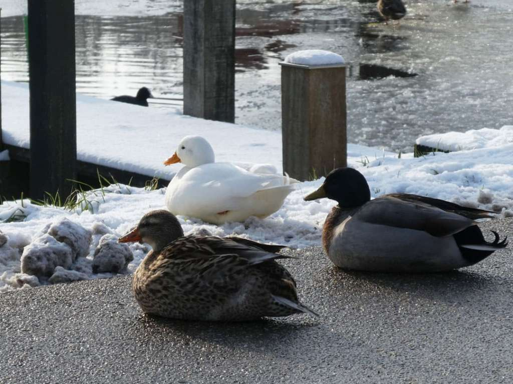 winterevents 2021 ducks